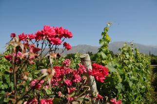 von seibenthal roses and hills.jpg
